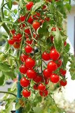Small Red Cherry Tomato Seeds! OVER 100 KINDS OF TOMATOES IN OUR STORE! COMB S/H