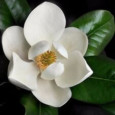 Magnolia grandiflora - Southern Magnolia Tree in small pot
