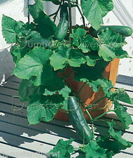 SPACEMASTER Bush patio container  CUCUMBER 40+ Organic seeds Heirloom NON-GMO