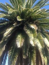 Well  Established  Palm  Tree.