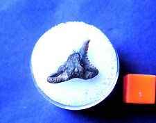 RARE BOXED Fossil Snaggletooth Shark Tooth- USA