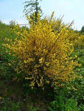 100 Graines de Genêt à balais, Cytisus scoparius,  Common Scotch Broom seeds