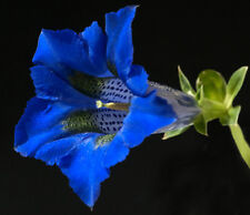 30 Samen Alpen-Enzian (Gentiana acaulis) Stängelloser Enzian, tolle blaue Blüten