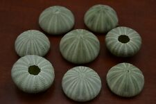 12 PCS GREEN SEA URCHINS SEA SHELL BEACH WEDDING NAUTICAL #7393