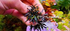 Bucephalandra Black Catherinae Rizoma 7cm rare plant Aquarium