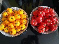 ☺25 graines de piment antillais rouges, oranges et vertes en mélange (très fort)