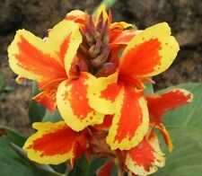 CANNA SEEDS! 12 x C. 'FAIRY QUEEN' BRIGHT RED w/- YELLOW - OPEN POLLINATED!