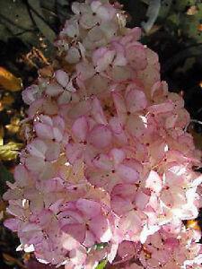 Rispenhortensie Hydrangea paniculata 'Phantom' 40-60cm Sommer und Herbstblüher