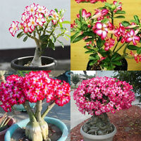 5/20X Lots Desert Perennial Rose Flower Garden Bonsai Plant Adenium Obesum Seeds