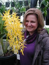 Dendrobium speciosum Premium cross Peninsula Princess x Mount Larcom Orchid