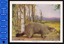 Common Ground Hog, Groundhog, Woodchuck - 1899 Nature Print Plus BONUS