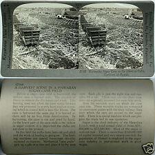 Keystone Stereoview SUGAR CANE, Oahu, Hawaii Territory From 600/1200 Card Set #A
