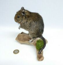 Taxidermy Degu. Log no 659. Mounted On Driftwood. Height 17cm. Small Mammal.