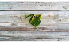 Lunkerhunt Lunker Frog Bull Frog