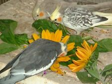 SW 3 packs of Bird/ Budgie seeds to grow- Chickweed, Dandelion & a seed mix.