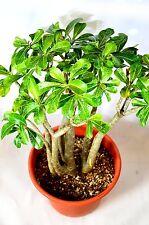 "New listing Adenium Desert Rose BareRoot with 12"" Pot 18"" inch live plant Mature Gift Flower"