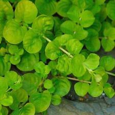 Pack x6 Creeping Lysimachia Perennial Garden Trailing Plug Plants
