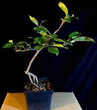Pre-bonsai Malus pumila, 'Braeburn' apple (not crabapple), 7 yrs from seed