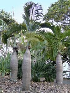 "Hyophorbe verschaffeltii 4"" pot Spindle Palm Tree Live Tropical Rare"