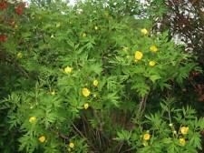 Paeonia ludlowii ( 10 graines)
