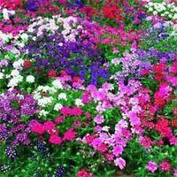 Verbena- Mixed Colors- 50 Seeds- BOGO 50% off SALE