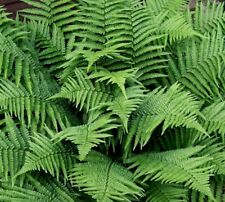 5 New York Fern PREMIUM NATIVE WOODLAND FERNS BR Beautiful!