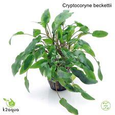 Cryptocoryne beckettii Live Aquarium Plants Tropical Aquascaping Tank EU
