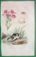 NATURAL HISTORY Beladonna Lily & Water Opossum - H/C Color Antique Print