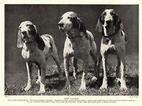 1930s Antique Braccho Italiano Dog Print Italian Bracco Pointer Dog Print 3862s