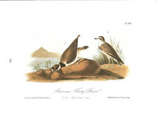 American Ring Plover Vintage Bird Print by John James Audubon ABONA#328