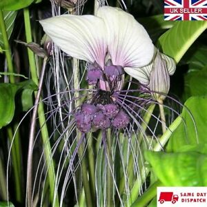 White Bat Flower (Tacca Integrifolia)   10 fresh seeds   Same Day Dispatch