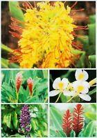 5 HAWAIIAN GINGER PLANT ROOTS ~ MIXED ~ GROW HAWAII