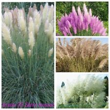 1000 Pampas Grass Seeds Cortaderia Rare 14 Kinds Garden Decorative Plants Bonsai