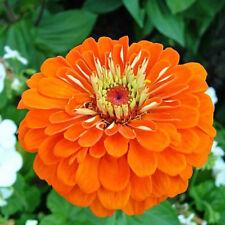 "Dahlia-flowered common zinnia ""Orange King"" - 120 seeds"