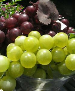 Weintrauben Rispe Wein Trauben Blau Grün Deko Obst Trauben Kunstobst Früchte