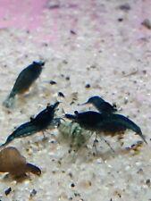 40+ Blue Dream Neocaridina Shrimp Sale!