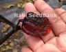 Purple Ghost Scorpion - A Cross Between Purple Ghost X  Butch T - OZ Grown Seeds