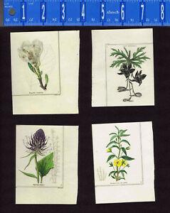 1831 Benjamin Maund Botanical Flowers  (Set of 4) Lot F