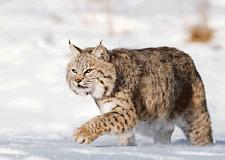 3D Postcard Bobcat Lenticular - in the snow  - Greeting Card