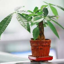 Seeds Pachira Macrocarpa Aquatica Bonsai Potted Money Tree Home Garden Easy Grow