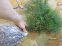 15 Smokie mountain White pine Starter 10-13 inch tall transplant seedlings #STX3