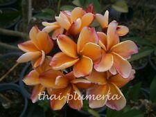 "PLUMERIA ""PENANG PEACH"" Fragrant Flower Frangipani plant"