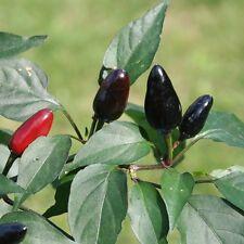 Negros chilis chilipaket Black 3 variedades diferentes envasado individualmente
