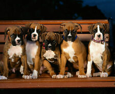 BOXER DOG PUPPIES - SITTING - GREAT HIGH QUALITY PICTURE ON A MOUSEMAT/PAD