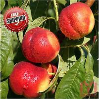 10 x Sweet Juicy Peach seeds Nectarine seed Heirloom Organic fruit tree