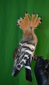 Taxidermy of birds and animals stuffed hoopoe Handmade October 2021