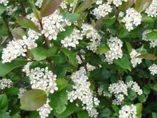 Aronia arbutifolia (20 Seeds/graines)