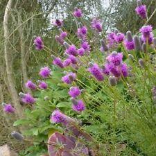 Prairie Clover (Dalea Purpurea) Purple - 500 Seeds