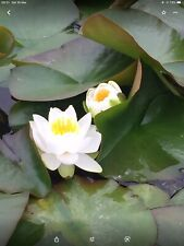 FORMOSA SMALL PINK UK HARDY WATER LILY SMALL POND PATIO BALCONY TUB PLANT