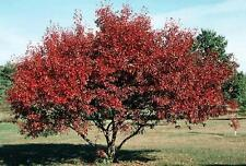 20 graines d 'ERABLE DE L'AMOUR(Acer Ginnala)G120 AMUR MAPLE SEEDS SAMEN SEMILLA